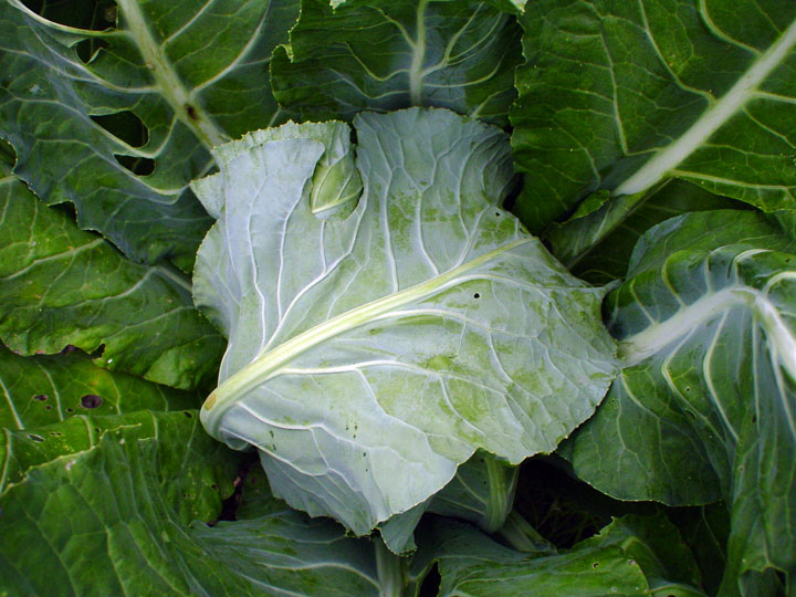 Covered-Cauliflower