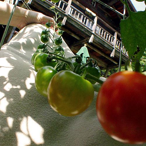 Tomato-Bract