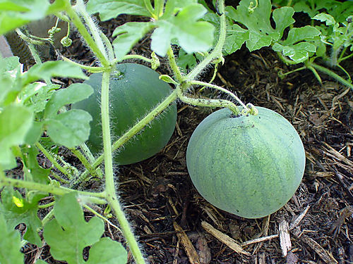 Little-Melons