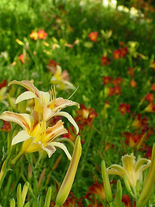 Lillies-1