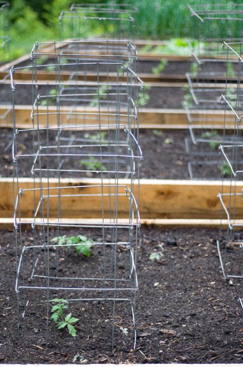 Little-Tomato-plants