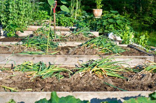 Garlic-Harvest