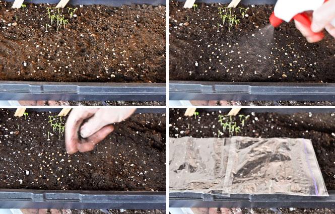 Seed-quad