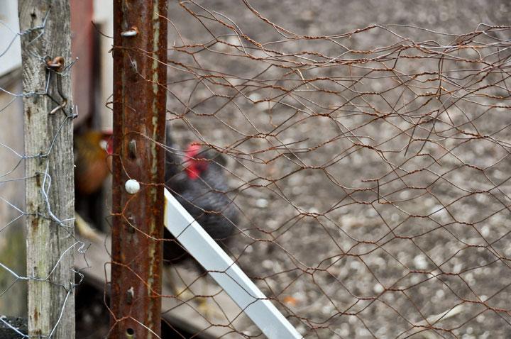 Chicken-Pen
