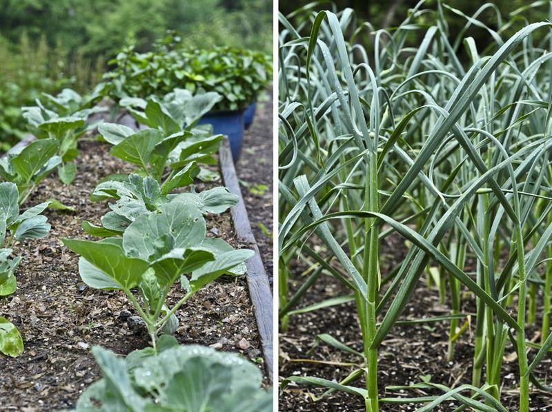 Cabbage-and-Garlic