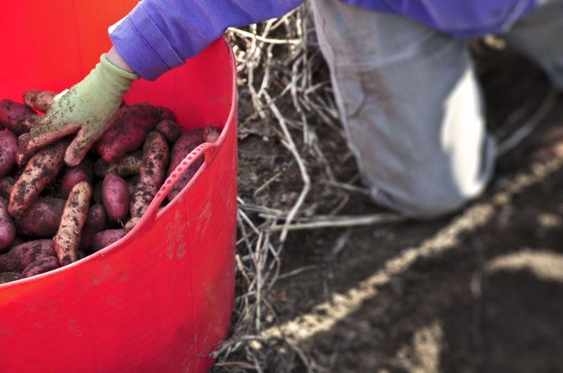 Bucket-of-potatoes