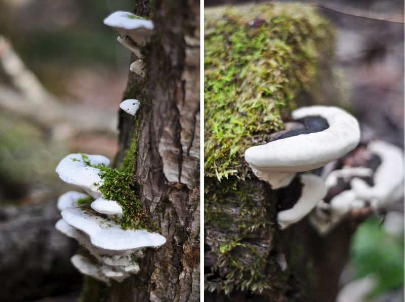 Shelf-Fungus