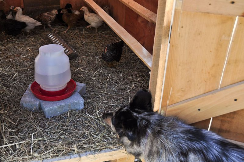 Macy-meets-the-Chooks